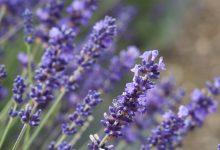שמנים ארומתיים מצמחי ארץ ישראל