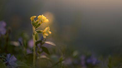 Photo of צמחי מרפא – פרימולה