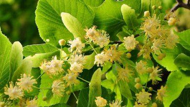 Photo of צמחי מרפא ובריאותנו- צמח הטיליה