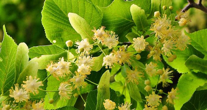 צמחי מרפא ובריאותנו- צמח הטיליה