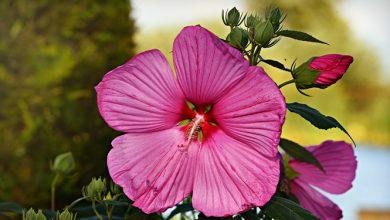 Photo of ורד הבר – היביסקוס