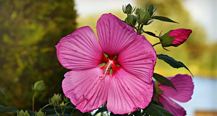 ורד הבר - היביסקוס