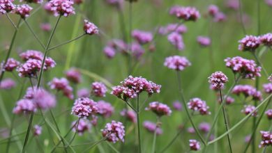 Photo of Verbena Officinalis וֶרְבֶּנָה רפואית