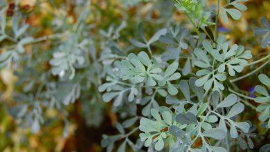 Photo of צמח הפיגם – לנוי ומרפא