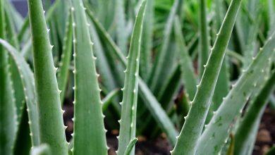 Photo of אלוורה – Aloe vera