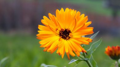 Photo of ציפורני חתול – Calendula Officinalis