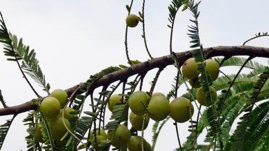 Photo of אמאלאקי – התרופה העוצמתית של הטבע