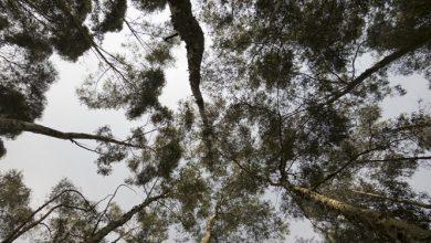 Photo of אקליפטוס (Eucaliptus globulus)