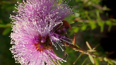 Photo of עץ התה האוסטרלי (Melaleuca alternifolia)