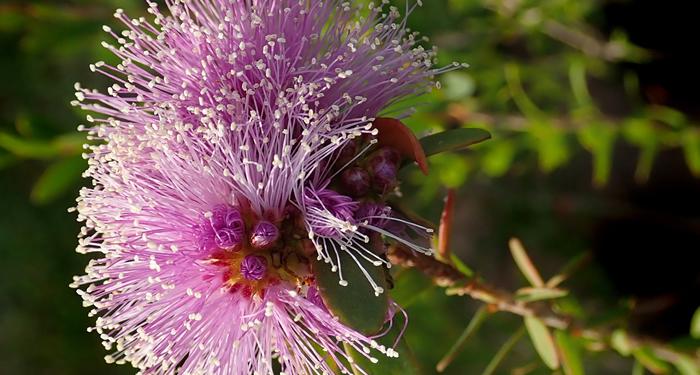עץ התה האוסטרלי