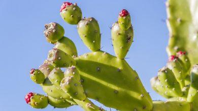 Photo of צבר (Opuntia ficus indica)