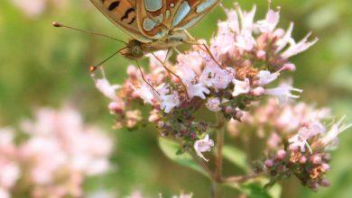 Photo of חינה / כופר (lawsonia alba)