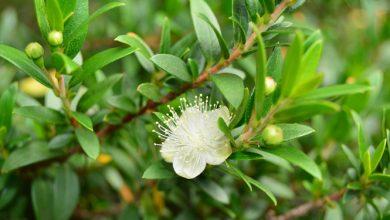 Photo of הדס מצוי (Myrtus communis)
