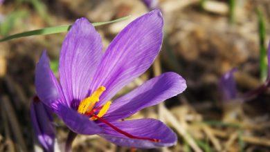 Photo of זעפרן/ כרכום הגינה (Crocus sativus)