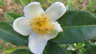 Photo of תה ירוק (camellia sinensis)