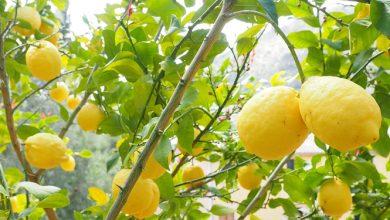 Photo of לימון – ערך תזונתי ויתרונות בריאותיים