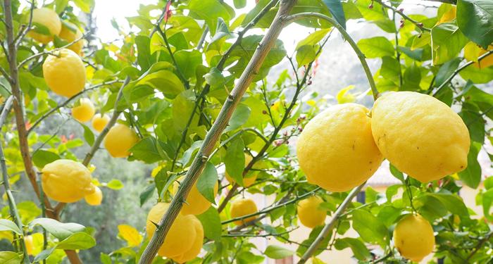 לימון מוסיף המון! ערך תזונתי ויתרונות בריאותיים רבים
