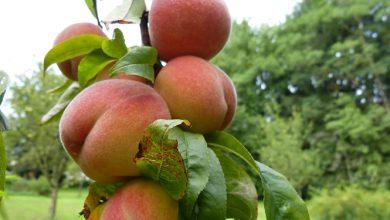 Photo of אפרסק – ערכים תזונתיים ויתרונות בריאותיים