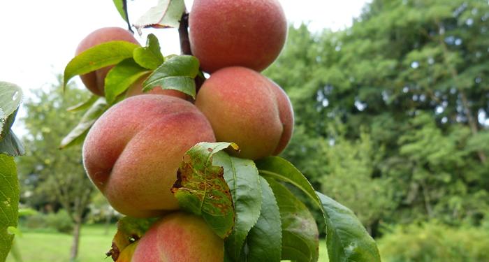 אפרסק - ערכים תזונתיים ויתרונות בריאותיים