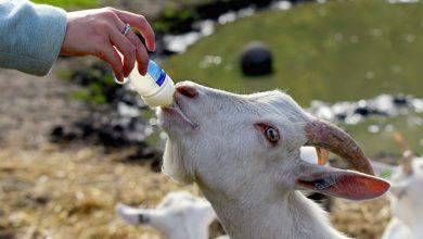 Photo of חלב עיזים – ערכים תזונתיים ויתרונות בריאותיים