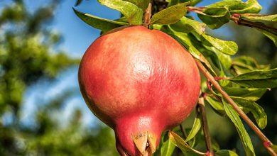 Photo of רימון – ערכים תזונתיים ויתרונות בריאותיים
