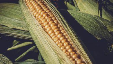 Photo of תירס – ערכים תזונתיים ויתרונות בריאותיים